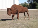 Young bison located at R. J. Thomas, Manufacturing on Hwy. 59 south of Cherokee, Iowa.  A gentleman in Aurelia, Iowa made this, among others around the county.
