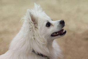 American_Eskimo_Dog_happy face